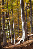 Silver-beech tree Royalty Free Stock Photography