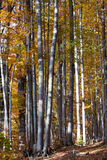 Silver-beech tree Stock Photo