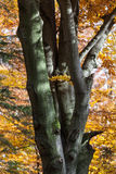 Silver-beech tree Royalty Free Stock Image
