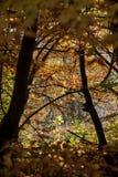 Silver-beech tree Stock Photos