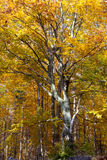 Silver-beech tree Stock Image