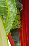 Silver-beet with red stems Stock Photos