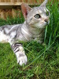 Silver Bengal Cat in the Grass. Beautiful Silver Bengal Cat peeping through Grass Stock Photos