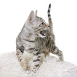 Silver bengal kitten Stock Photography