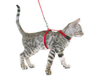 Silver bengal kitten and harness Stock Images