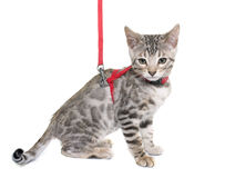 Silver bengal kitten and harness Royalty Free Stock Photography