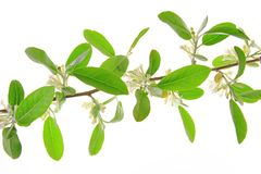 Silver berry (Elaeagnus) Royalty Free Stock Image