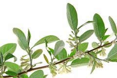 Silver berry (Elaeagnus) Stock Photos