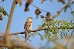Indian silver bill bird. The silver bill bird siting on the branch of tree. beautiful sky blue color of background. Indian silver bill or white necked munia is a royalty free stock photo