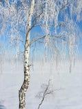 Silver birch Royalty Free Stock Photo