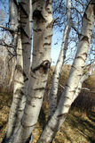 Silver Birch. Branchs in autumn, blue sky background Royalty Free Stock Photos