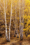 Silver Birch Stock Images