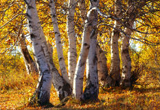 The silver birch Stock Photos