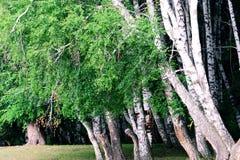 Silver birch Stock Image