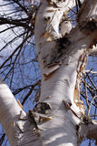 Silver birch. Tree royalty free stock photos