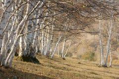 Silver birch stock photography