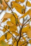 Silver birch in Autumn Royalty Free Stock Photos