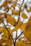 Silver birch in Autumn Stock Photography