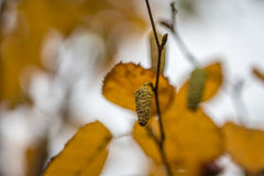 Silver birch in Autumn Stock Photo