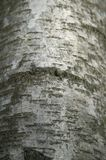 Silver birch bark Royalty Free Stock Image