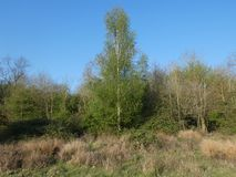 Silver Birch Beith The forests edge stock images