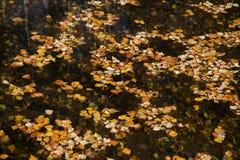 Silver birch, Betula pendula Royalty Free Stock Image