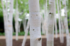 Silver birch Betula pendula tree forest. Dreamy image of white. Bark trees in woodland. Close up of trunks with selective focus on foreground royalty free stock images