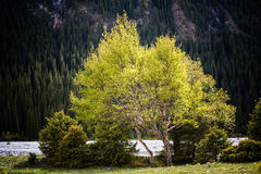 The silver birch at the dried river side Royalty Free Stock Images