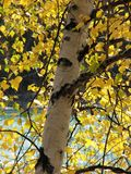 Silver birch in fall Royalty Free Stock Image