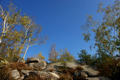 Silver birch in fontainebleau forest. Rock and silver birch.in fontainebleau forest Stock Photography