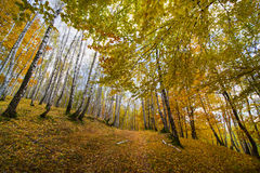 Silver birch forest in autumn. Beautiful autumn pathway in a birch forest Royalty Free Stock Images