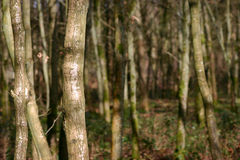 Silver Birch forest. Full frame rural scene of a wood of forested Silver Birch trees with focus on the foreground left trees Stock Image
