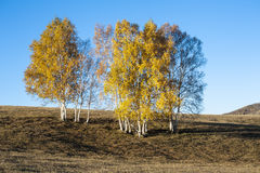 Silver birch Royalty Free Stock Photo
