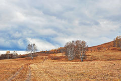 The silver birch on the grassland Royalty Free Stock Image