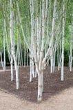 Silver birch. A group of silver birch trees stock photos