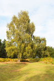silver birch in heathland North Norfolk Stock Images