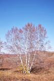 Silver Birch in Late Autumn. A silver birch tree is in an autumn day Stock Image