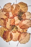 Silver birch leaves taken on a lightbox Stock Photo