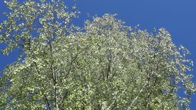 Silver birch leaves in the wind. the crown of a silver birch tree. Silver birch leaves in the wind. crown of a silver birch tree stock video