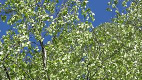 Silver birch leaves in the wind. the crown of a silver birch tree. Silver birch leaves in the wind. crown of a silver birch tree stock footage