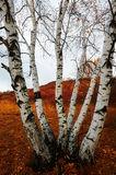 Silver birch on the meadows Stock Photography
