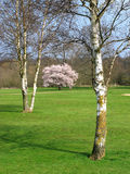 Silver Birch in Mote Park. Colourful view of silver birch trees in a country park Royalty Free Stock Photography