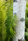 Silver birch and ostrich fern Stock Photography