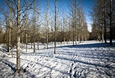 Silver birch plantation Stock Photos