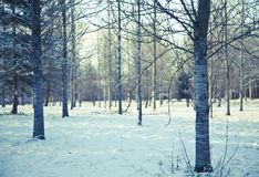 Silver birch plantation Stock Images