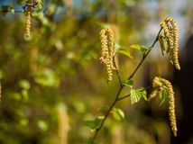 Silver birch seeds Royalty Free Stock Images
