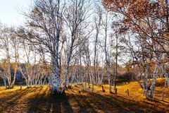 Silver birch and shadow sunset Stock Photography