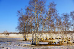 Silver birch and  the sheep in winter Royalty Free Stock Photography