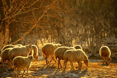 Silver birch and  the sheep in winter Royalty Free Stock Images