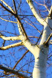 Silver birch tree against blue sky Royalty Free Stock Image